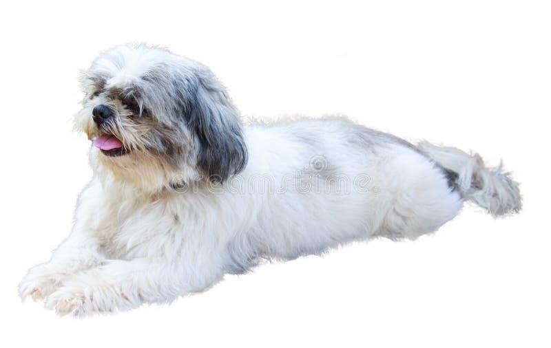 Mensonges de chien de Shih Tzu d'isolement sur le fond blanc images stock