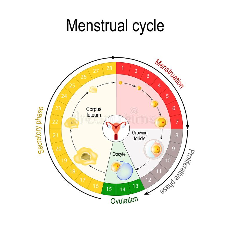 Menstrual cycle chart. Increase and decrease of the hormones. The graph also depicts the growth of the follicle. Fluctuation of hormones that occurs during royalty free illustration