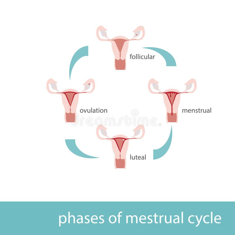 Menstrual cycle phases diagram stock vector illustration of download menstrual cycle phases diagram stock vector illustration of fertile cell 107175339 ccuart