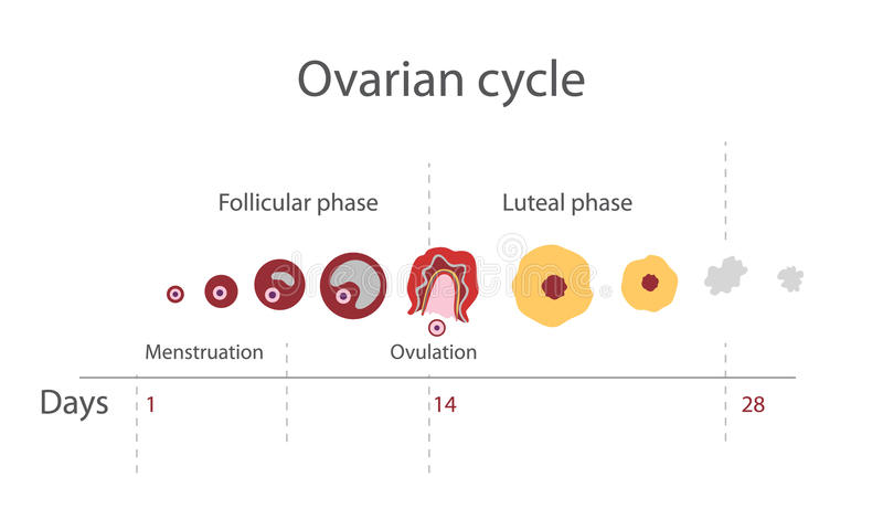 The menstrual cycle. Showing changes hormones, endometrial basal body temperature. Infographics. Vector royalty free illustration