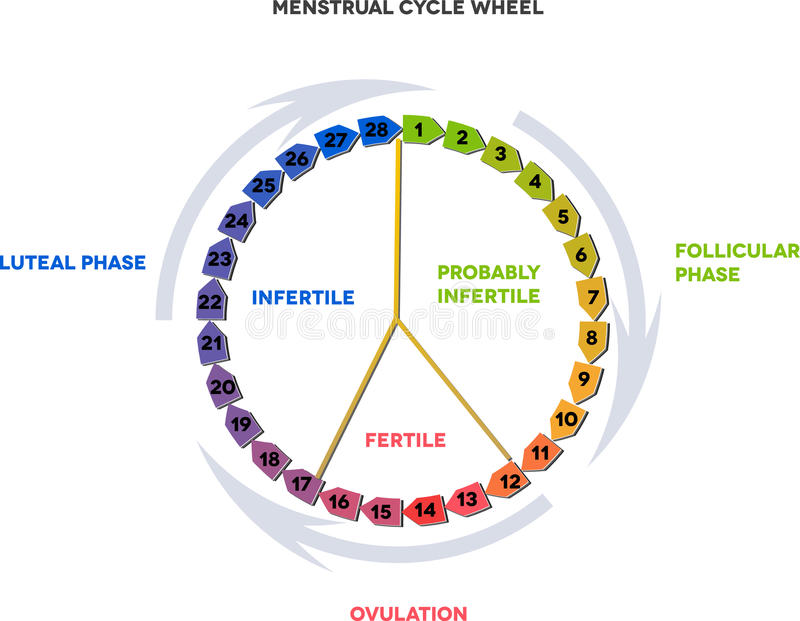 Menstrual cycle wheel royalty free illustration