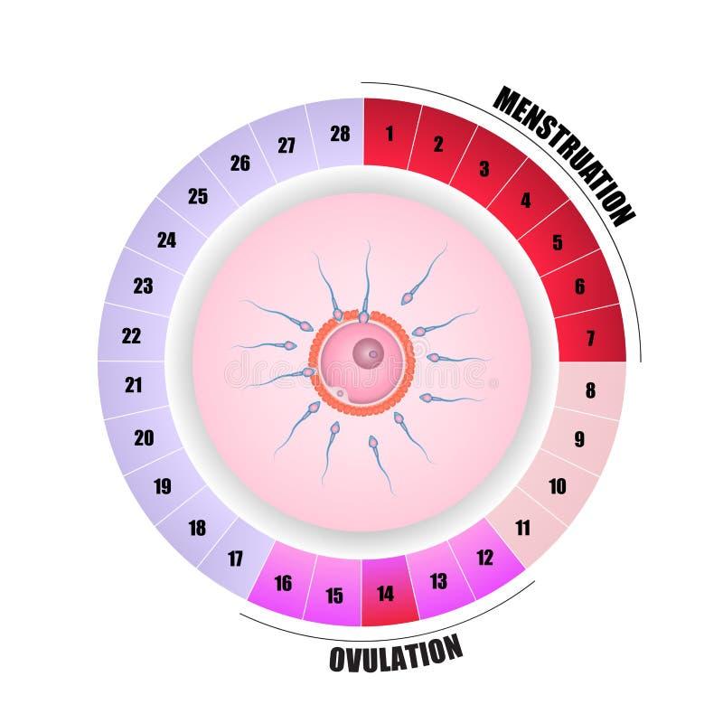 Menstruations- cirkulering och befruktning stock illustrationer