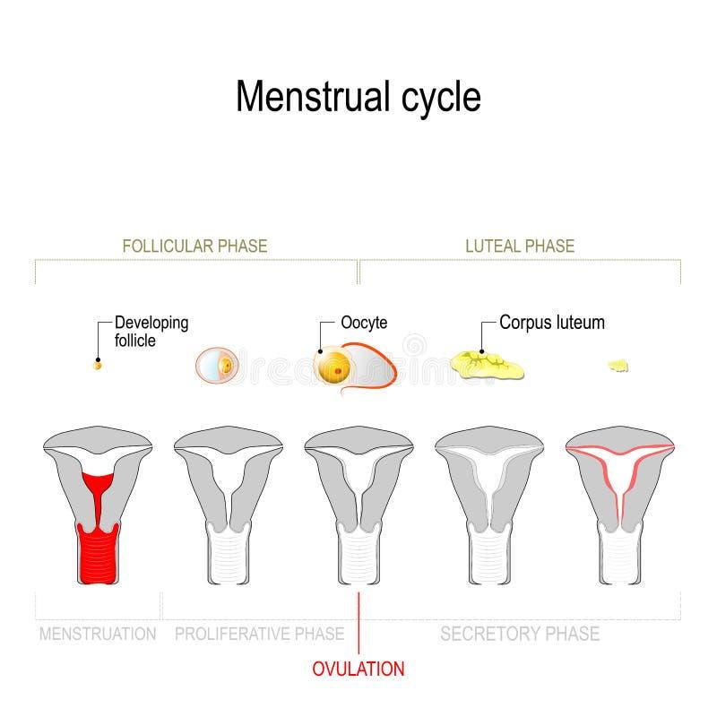 Menstruations-, Follikelphase, Ovulations- und Corpus luteum-Phase lizenzfreie abbildung