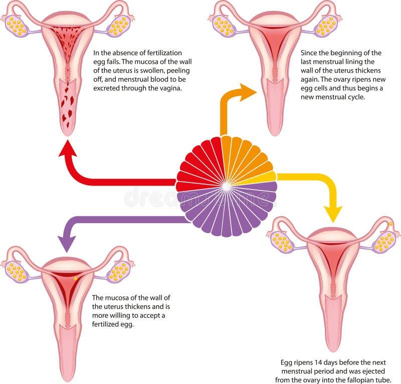 Menstruele cyclus royalty-vrije illustratie