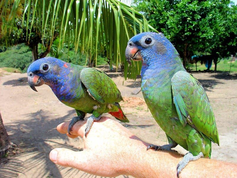 Menstruus à tête bleue de Pionus du perroquet deux en Amazone images libres de droits