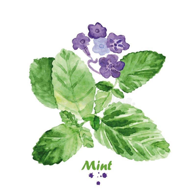 Menta de la acuarela con las flores Ejemplo realista pintado a mano libre illustration
