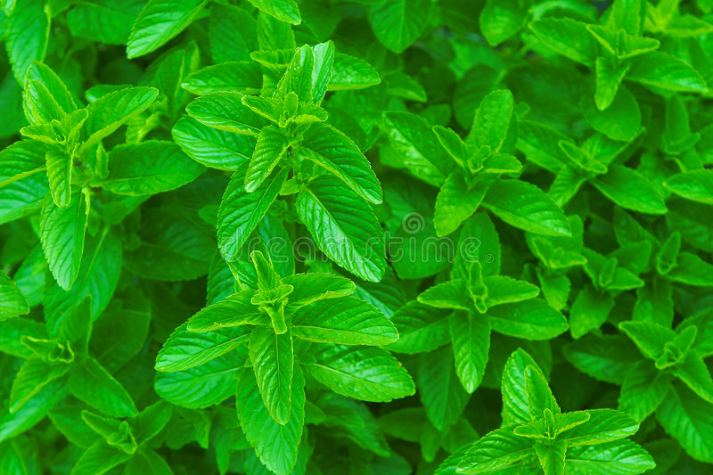 Menta verde del ~ de la menta fresca, hierbabuena foto de archivo libre de regalías