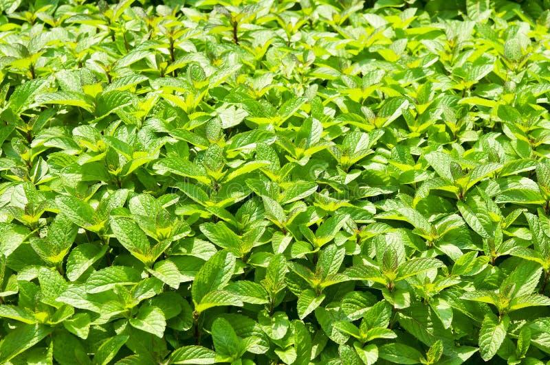 Menta verde del ~ de la menta fresca, hierbabuena fotografía de archivo