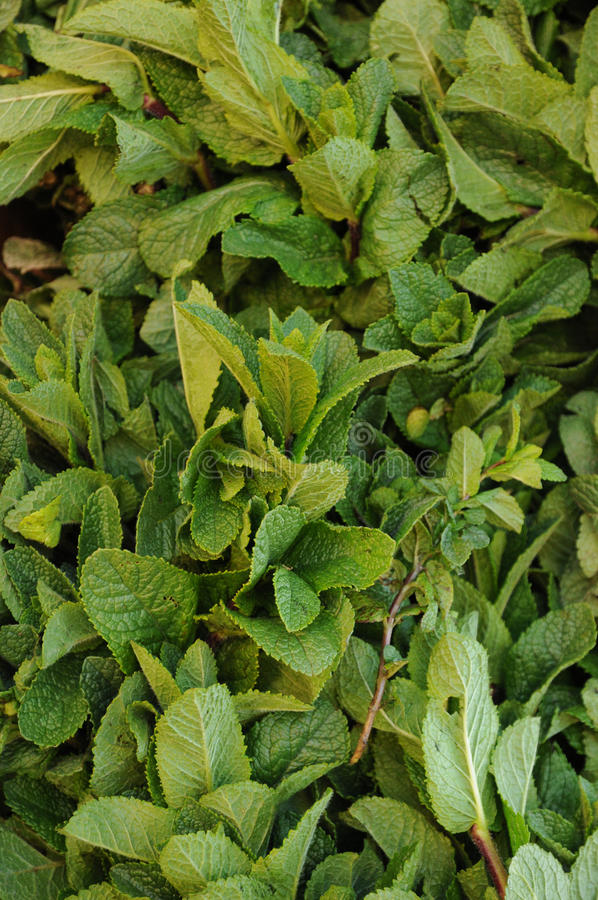 Mentha royalty free stock photography