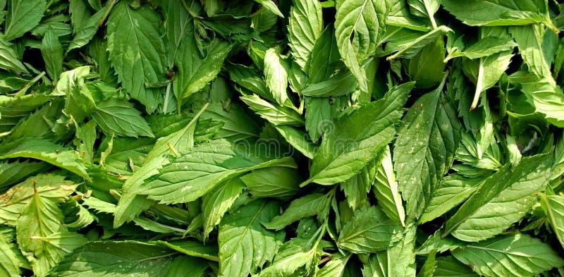 Mentha-Blätter stockfoto