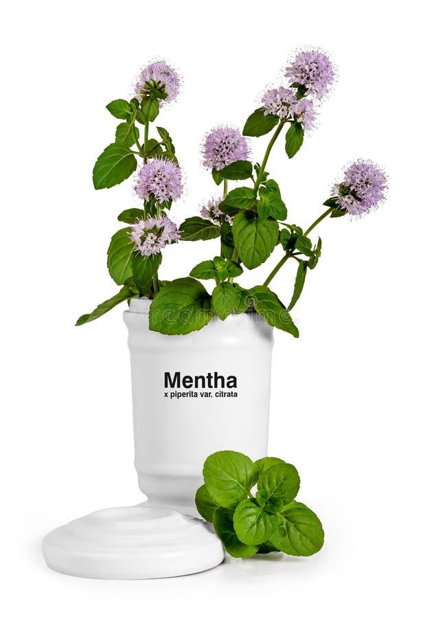 Mentha in bloei royalty-vrije stock afbeeldingen