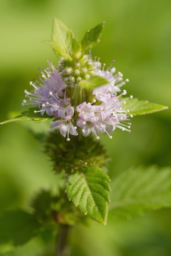 (Mentha piperita) miętówka, ziele i pikantność, zdjęcia stock