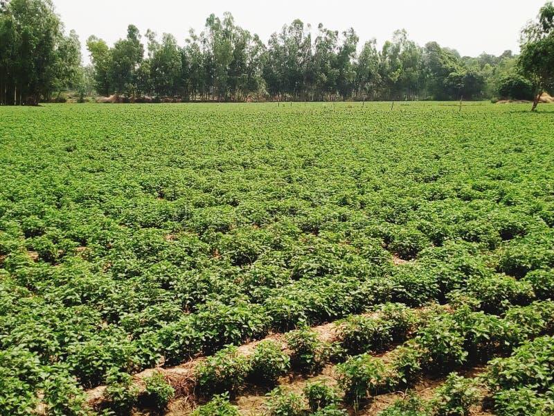 Mentha plant gebied in India royalty-vrije stock afbeeldingen
