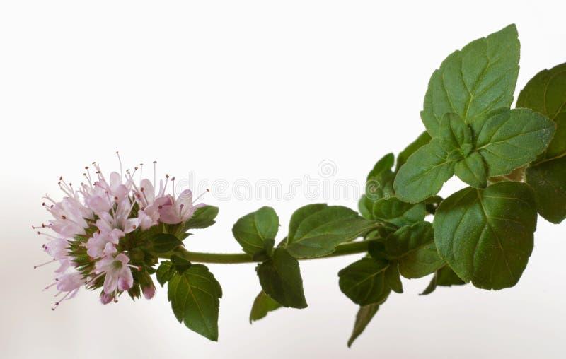 Menthaaquatica stock foto