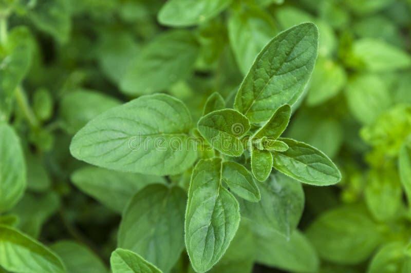 Menthe, herbes croissantes photo libre de droits