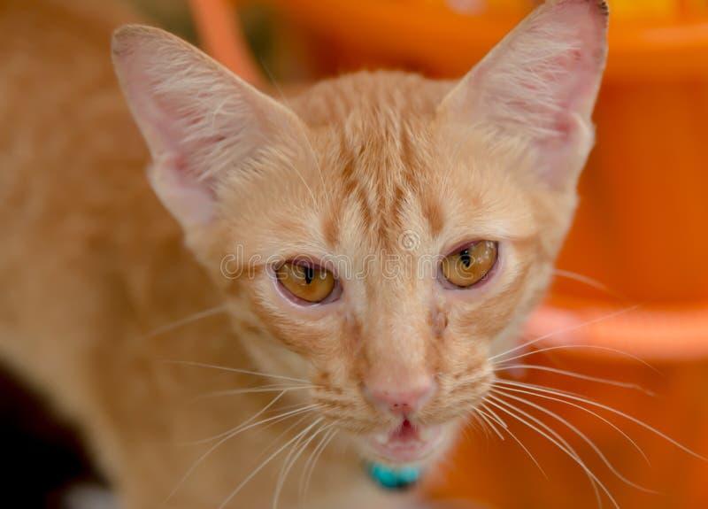 Mentira alaranjada do gato do gatinho no close up à terra de madeira em sua cor pastel da cara imagens de stock royalty free