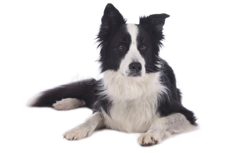Mentira blanco y negro linda del perro del border collie fotografía de archivo libre de regalías