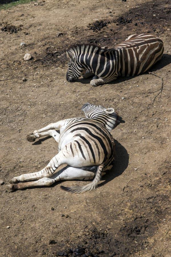 Mentira da zebra de Burchell na terra imagem de stock