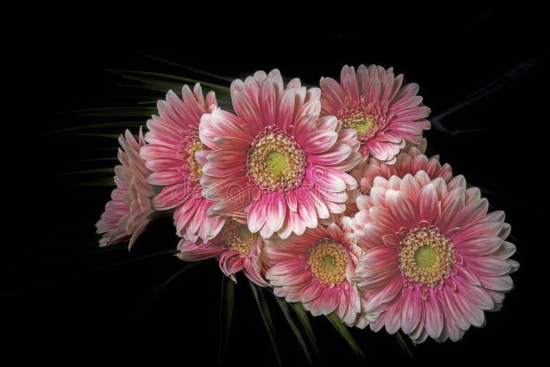 Mentira de la flor de Gerber imágenes de archivo libres de regalías