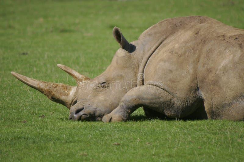Mentira deixada dos Rhinos do sono imagem de stock
