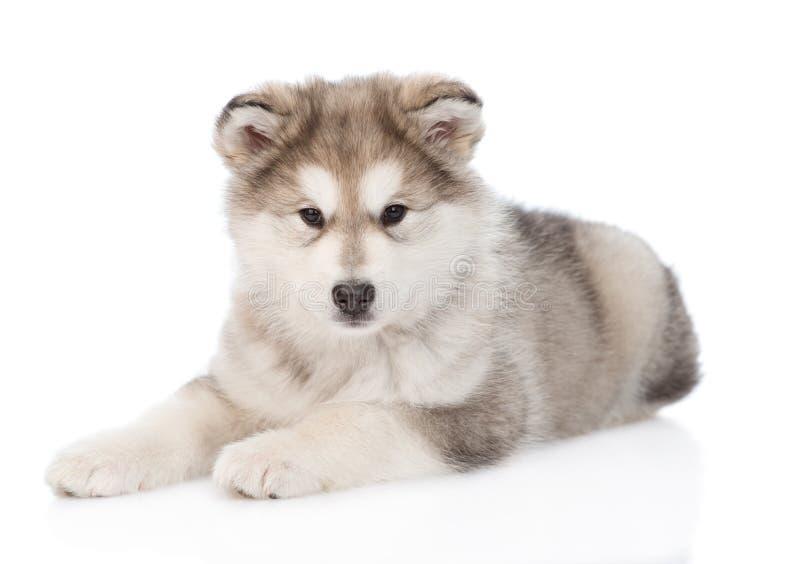 Mentira del perrito del malamute de Alaska Aislado en el fondo blanco imagenes de archivo