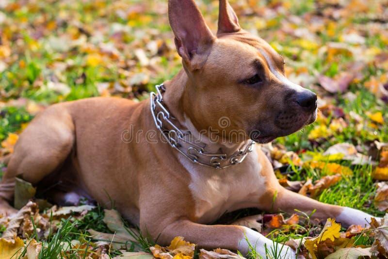 Mentira del perro del terrier de Staffordshire americano foto de archivo libre de regalías