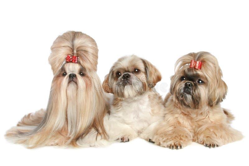 Mentira del tzu de Shih de tres perros en un fondo blanco imagenes de archivo