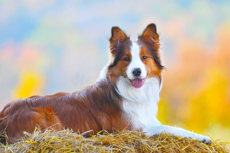 Mentira do cão do collie de beira no feno no tempo do outono foto de stock