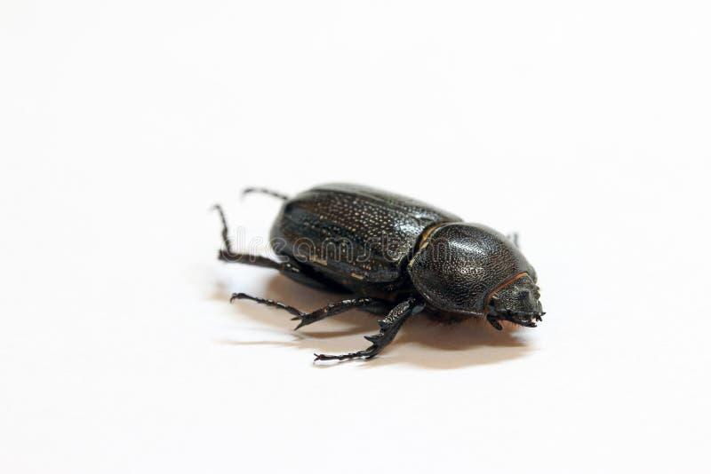 Mentira do inseto do besouro no assoalho branco É o inseto o maior imagem de stock royalty free