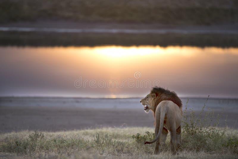 Mentira libre salvaje del retrato del león imagen de archivo