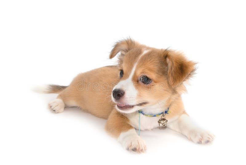 Mentira linda del perrito de la chihuahua imágenes de archivo libres de regalías