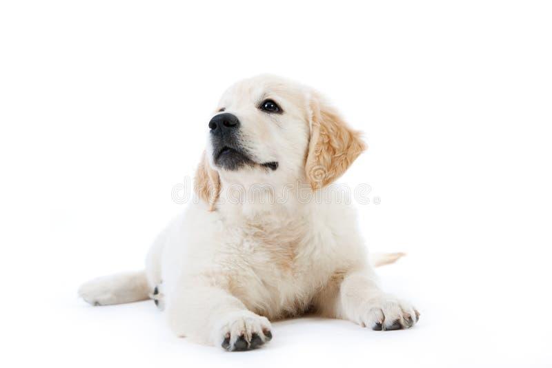 Mentira linda del perrito del perro perdiguero de oro imagenes de archivo