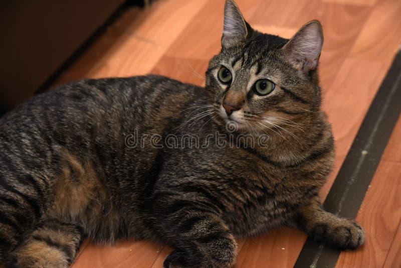 Mentira rechoncha del gato de gato atigrado foto de archivo
