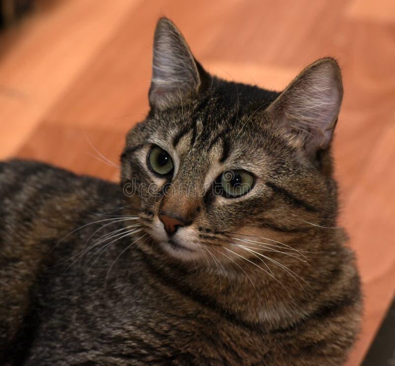 Mentira rechoncha del gato de gato atigrado foto de archivo libre de regalías