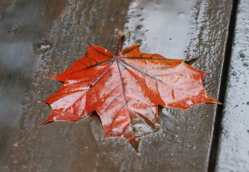 Mentira roja de la hoja de arce mojada en una tabla de madera en la lluvia fotografía de archivo