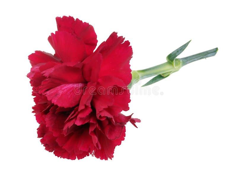 Mentira roja sola perfecta muy pequeña de la flor del clavel en macro aislada tabla foto de archivo