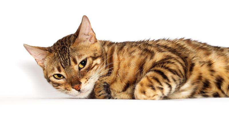 Mentiras do gato Bengala fotos de stock royalty free