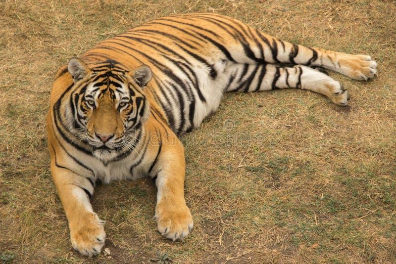 Mentiras grandes y restos de un tigre en el parque en hierba secada durante t fotografía de archivo