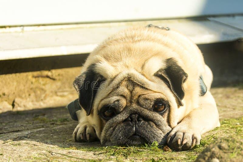 Mentiras tristes do cão do pug fotos de stock
