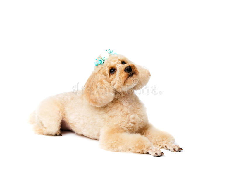Mentiras y miradas del perro hacia arriba Caniche de juguete con una horquilla imagenes de archivo