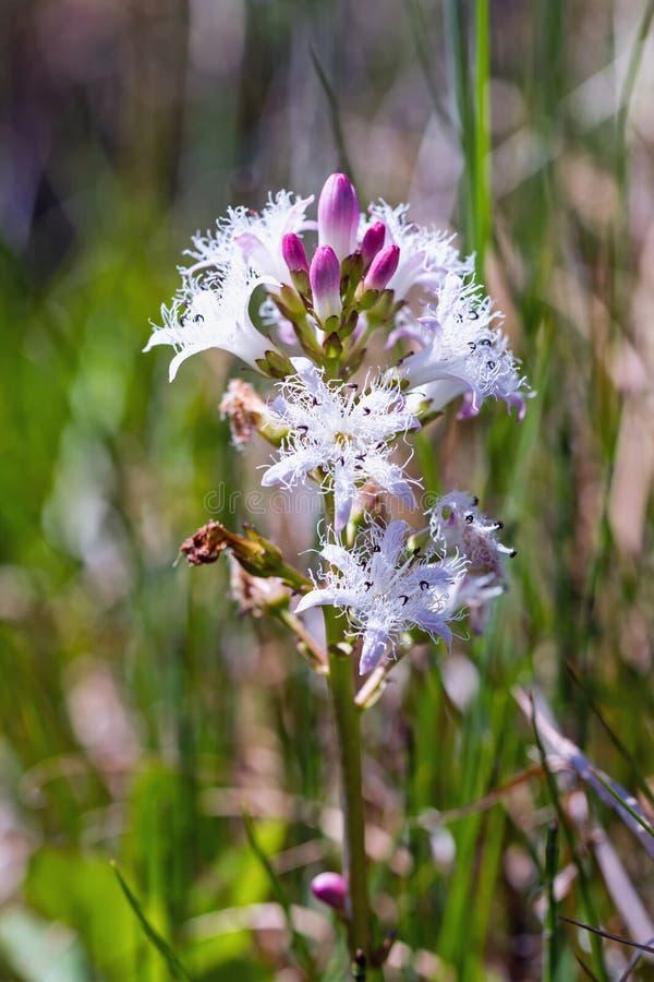 Menyanthes Trifoliata, Pantano-haba, trébol foto de archivo libre de regalías