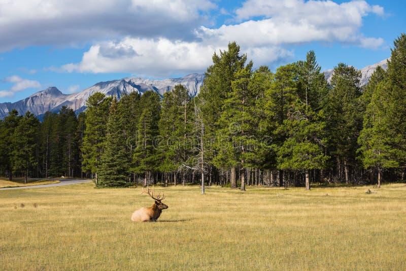 Menzogne antlered dei cervi nobili nell'erba fotografia stock