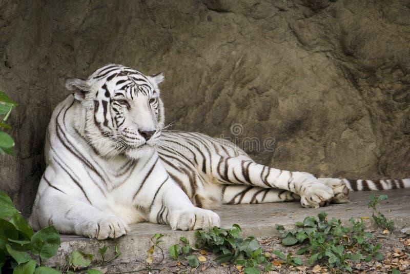 Menzogne bianca della tigre di Bengala fotografia stock