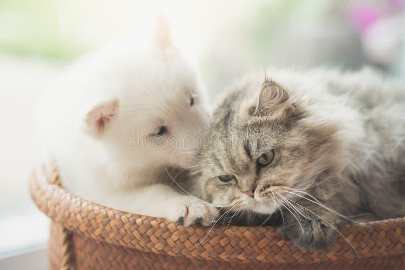 Menzogne del gatto persiano e del husky siberiano sveglio fotografia stock