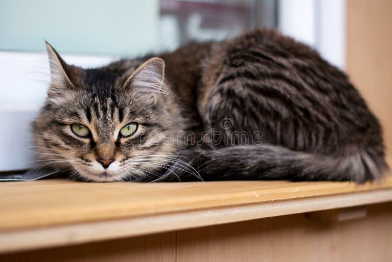 Menzogne di peso eccessivo divertente del gatto fotografie stock