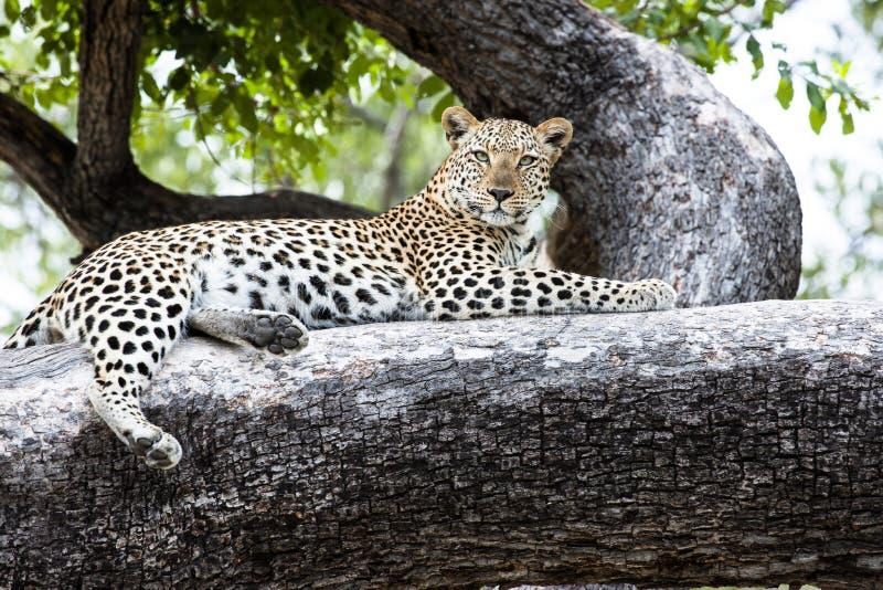 Menzogne distesa leopardo in un albero fotografia stock libera da diritti