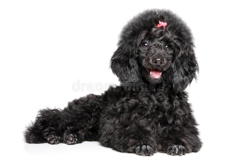 Menzogne graziosa del cucciolo nero di Toy Poodle immagini stock libere da diritti