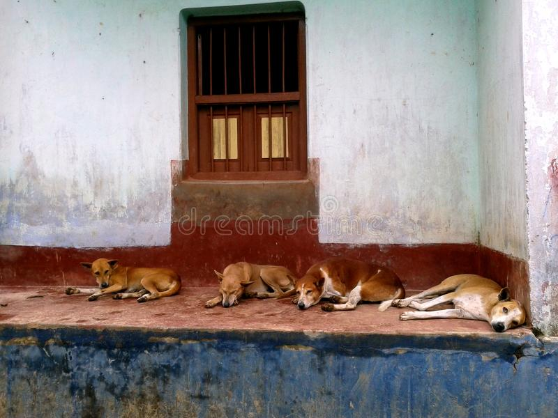 Menzogne indiana dei cani della via fotografie stock libere da diritti