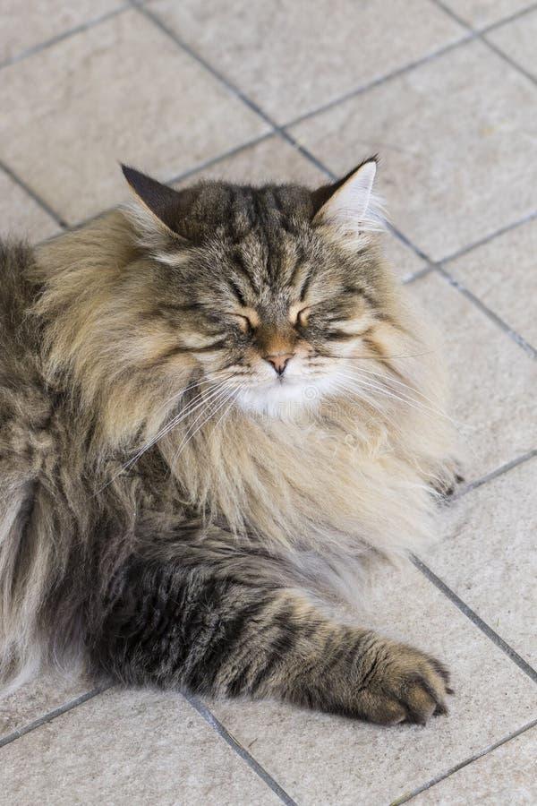 Menzogne maschio del gatto del soriano di Brown all'aperto nel tempo facente le fusa immagine stock libera da diritti