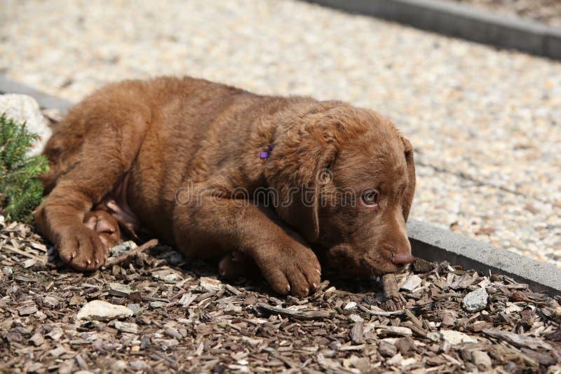 Menzogne piacevole del cucciolo del Chesapeake bay retriever fotografie stock libere da diritti